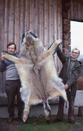 Ist Freude an der Jagd ein überzeugendes Argument zur Wolfsbejagung?