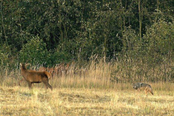 Spannende Begegnung, aber keine Spur von Aufgeregtheit – weder beim Hirsch noch beim Wolf. Copyright: S.Koerner@lupovision.de.