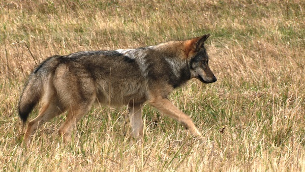 Gerade Rückenlinie, heller Sattelfleck, gerade herabhängende Rute – dieser deutsche Wolf zeigt einige der typischen Merkmale von Canis lupus. Foto: S.Körner@Lupovision.