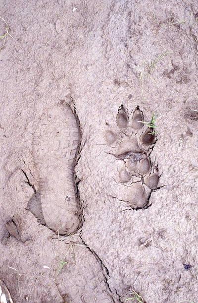 Meistens setzt der Wolf die kleinere Hinterpfote fast genau in den Abdruck der größeren Vorderpfote. Die Schuhgröße links ist 44.