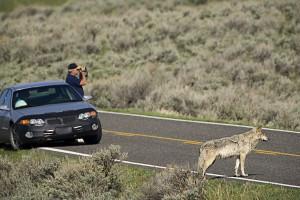 Man ignoriert sich: ein Wolfsjährling in Yellowstone hat kaum ein Age auf seinen menschlichen Nachbarn. Foto Peter Dettling, www.TerraMagica.ca.