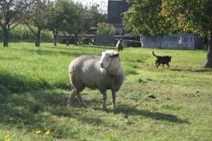 """""""Getüterte"""" Schafe im Territorium des Rosentalrudels in Niedersachsen: kein Zaun, am Boden angepflockt. Leichtes Spiel für Wölfe."""