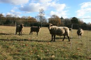 Geschützte Schafe im Territorium eines Wolfsrudels bei Neustadt in Sachsen: 90 cm hoher stromführender Zaun, zusätzliche Litze. Es fehlt jedoch der Schutz gegen Untergraben.