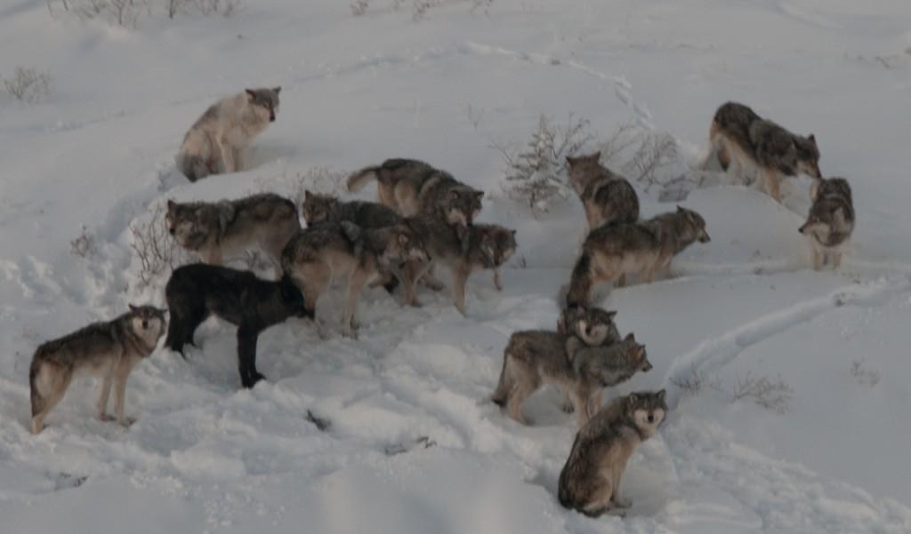 In dieser seltenen Aufnahme sehen Sie Wölfe aller Altersklassen. Ein Drittel davon sollten erwachsene Tiere sein. Foto Alan Baer.
