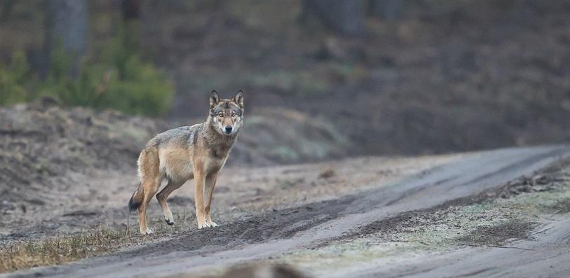 Wolfsfähe - eingefangen von Heiko Anders.