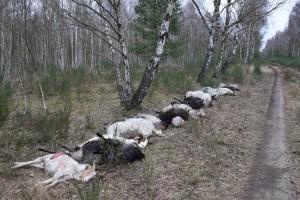 68 von 70 gerissenen Schafen und Ziegen lagen außerhalb des Zauns (Foto: D. Synatzschke)