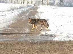 Eindeutig ein Wolf - aber wer hat das Foto gemacht?