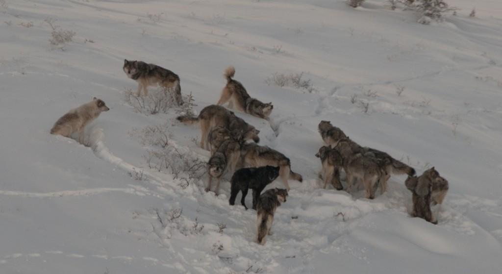 Ein Wolfsrudel im kanadischen Yukon: Sind der fast weiße Wolf links oder der schwarze im Vordergrund  Hybriden, nur weil sie sich äußerlich von ihren Artgenossen unterscheiden? Foto Alan Baer.