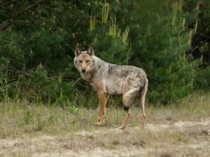 Wölfin in der Lausitz. Nach Geist muss es ein Hybridwolf sein. Foto Speefotograf