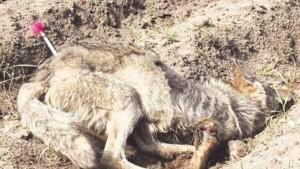 Die üble Verletzung ist an dem betäubten Wolf deutlich erkennbar. Das Tier wog gerade noch 15 kg.
