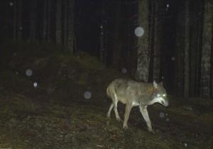 Ein Wolf im Nationalpark Bayerischer Wald (Foto: NPV)