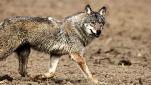Der vermutlich angefahrene Wolf: Die Verletzung am rechten Vorderlauf ist noch nicht erkennbar.