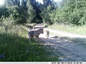 Jungwölfe in Österreich - endlich!