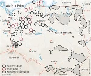 In Westpolen sind die Wölfe auf dem besten Weg, die geeigneten Lebensräume zu besetzen.
