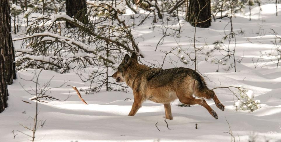 Zum Davonlaufen findet dieser Wolf die Dresdner Resolution. Fot Karsten Nitsch.