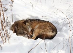 Ruhe für Wölfe? Noch lange nicht ... (Foto P. Peuker)