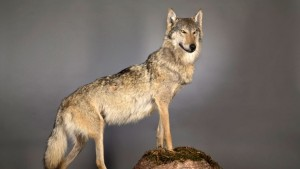 """Deutschlands erster """"Problemwolf"""" im Landesmuseum Hannover."""