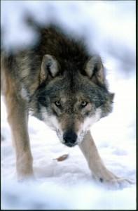So etwa kann ich mir einen Problemwolf vorstellen ... (Foto U. Anders)