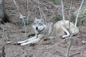 Noch ist's ruhig um die Wölfe - aber wie lange noch? Foto Peuker