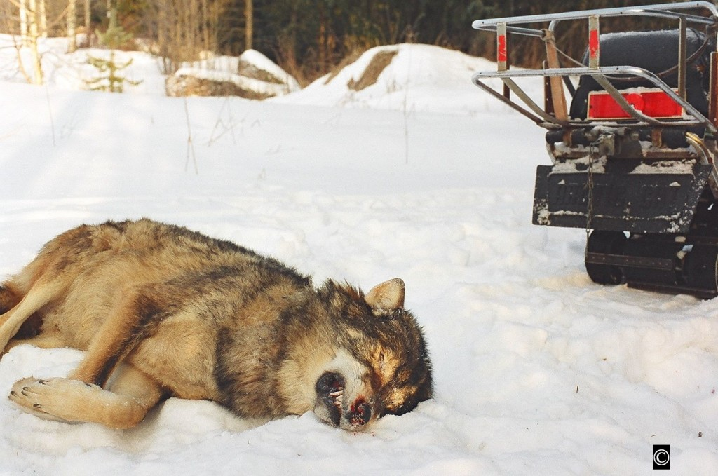 Schweden geht seinen eigenen Weg im Wolfsmanagement.