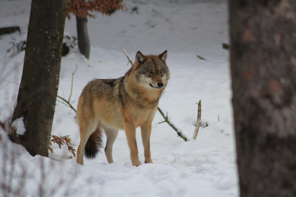 An der Reproduktion gehinderter Wolf (Foto Peuker)