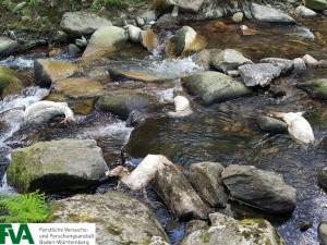 Ertrunkene Schafe. Das Bild zeigt aber auch, dass der Wolf diesen Wasserlauf (die Enz)  trockenen Fußes überqueren konnte (Foto FVA Freiburg).